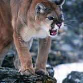 Горный лев - достойный противник для настоящего Охотника