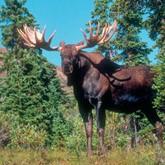 Охота на лося: Прадивая охотничья история