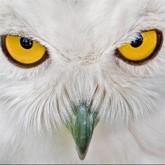 Опыт  разведения и содержания белых сов в условиях казанского зооботсада