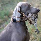 Дрессировка охотничьих собак: аппортирование