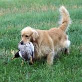 Натаска охотничьей собаки