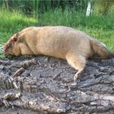 Три охоты на сурка-байбака в Донецкой области