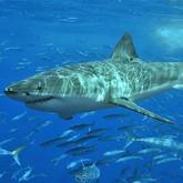 Население Приморья хотят успокоить видом мертвых акул