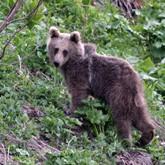 Сочи-2014: дикие медведи отсюда давно ушли