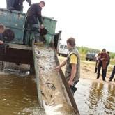 Свободное плавание волжской стерляди