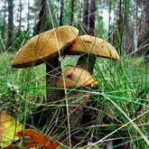 Искусство собирать грибы. Мнение миколога