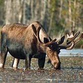 Манок на лося: Охота с манком на лося - охота на вабу