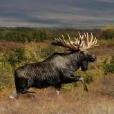 Охота на лося на вабу с Профессионалом. И некоторые особенности охоты на крупных копытных
