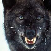 Страшнее волкособа зверя нет