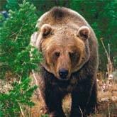 Раскрыта тайна владимирского йети. Это медведь!