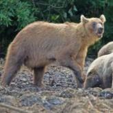 На Сахалине прикармливают медведей
