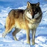 Встречи с волками