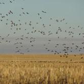 Осенняя охота на гуся в Казахстане
