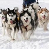 Экспедиционный корпус - Ездовые собаки хаски