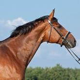 Тракененская лошадь: история тракененской породы