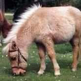 Пони фалабелла: самые маленькие лошадки в мире (ВИДЕО)