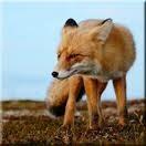 Охота на лису в Самарской области