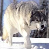 Охота на матерого волка, гуся и уток на Украине