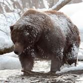 Не все медведи Кроноцкого заповедника зимой ложатся спать