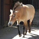 История лошадей. Дикие предки и дикие лошади