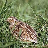 Дичеразведение: Содержание и кормление взрослых птиц