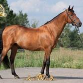 Лошадь латвийской породы