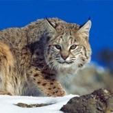 Большая лесная кошка - рысь