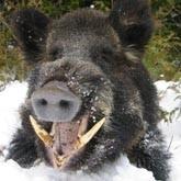 5 самых опасных животных Кировской области