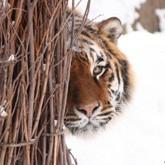 Трудная судьба амурского тигра