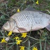 Караси на Волге, или Весенняя рыбалка