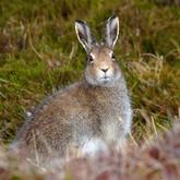 Почему исчезает заяц-беляк?