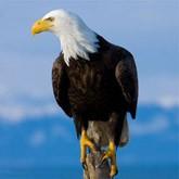 Любопытные факты о белоголовом орлане