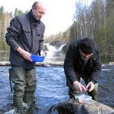 Вернуть лосося в родные реки