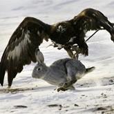 Соколиная охота: Когти и клюв – мои документы