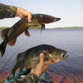 Квота на вылов рыбы, или зачем к удочкам привязывают весы