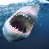 Россиян спасают от акул защитными сетями и советами