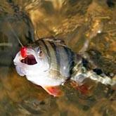 Ловля хищной рыбы с отводным поводком