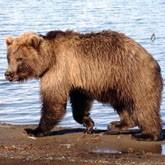 Не прикармливайте медведей, это опасно!