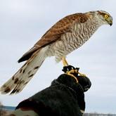 Ловчая птица: Охота с перепелятником или соколиная