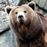 Напуганные медведи Сибири уходят из тайги к людям