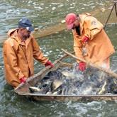 Беларусь: Особенности национального рыбоводства