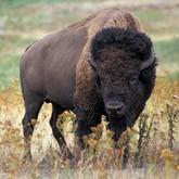 Жизнь датских бизонов на Смоленской земле
