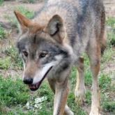 Хоть волком вой: Нашествие волков