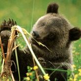 Медведи притесняют жителей Ленобласти