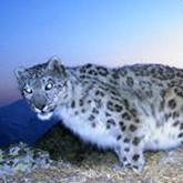 В Туве 60 ирбисам угрожают браконьеры