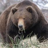 Камчатские медведи весной - Фоторепортаж Игорь Шпиленок