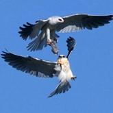 Хищные птицы: высший пилотаж из-за добычи