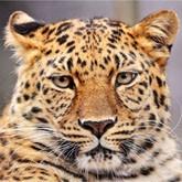 Сергей Иванов о сохранении леопарда