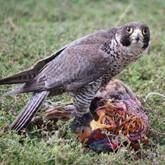 Всероссийский слёт охотников с ловчими птицами пройдёт 28 – 30 сентября на базе «Барсучок»