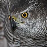 Соколиная охота: Всероссийские состязания ловчих птиц по голубю